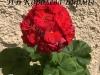 ИВ Королева Бирмы цвет