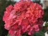 ЮГ Дамасская Роза — копия
