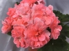 Cara Rosa цветок