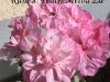Runes Peach Melba цветок 1