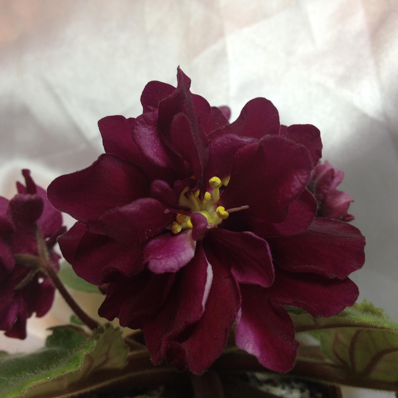 Благородная роза фиалка ав